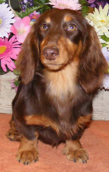 Weatherly S Miniature Akc Chocolate Longhairs Dachshund