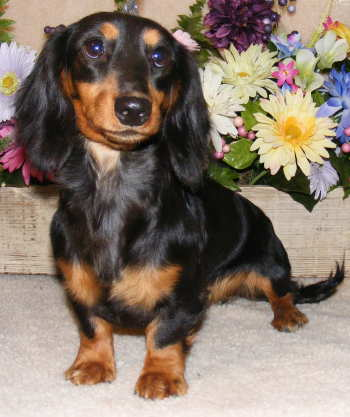 Black and tan wirehair piebald