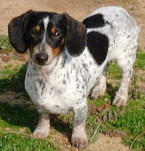 Weatherly's Miniature Piebald Dachshunds Puppies