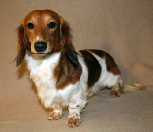 Piebald Mini Dachshund Puppies Weatherly's miniature piebald ...