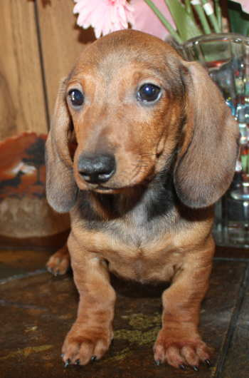 miniature dachshund puppies smooth MEMEs