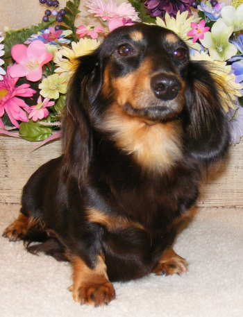 Our latest photo features an adorable miniature long-haired dachshund puppy!