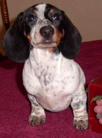 Piebald dachshund black and white
